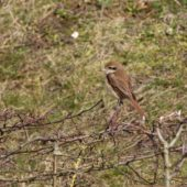 Dzierzba brązowa, Brown Shrike, Lanius cristatus, Den Helder, Holandia, 21.02.2017 (1)