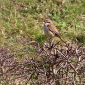 Dzierzba brązowa, Brown Shrike, Lanius cristatus, Den Helder, Holandia, 21.02.2017 (5)