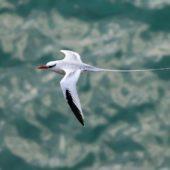Faeton białosterny, Red-billed Tropicbird, Phaeton aethereus, Praia Cliffs, Saot Tiago, Wyspy Zielonego Przylądka, 20.02.2015 (2) (Cape Verde)