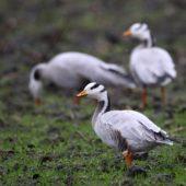 Gęś tybetańska, Bar-headed Goose, Anser indicus, Holandia, 22.02.2017 (1)