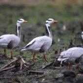 Gęś tybetańska, Bar-headed Goose, Anser indicus, Holandia, 22.02.2017 (2)