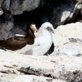 Głuptak białobrzuchy, Brown Booby, Sula Leucogaster, Raso, Wyspy Zielonego Przylądka, 24.02.2015 (3) (Cape Verde)