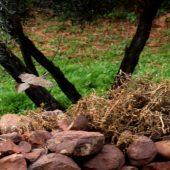Góropatwa berberyjska, Barbary Partridge, Alectoris barbara, Sidi Moussa, Maroko, 24.11.2012 (Morocco)