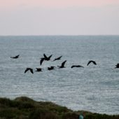 Ibis grzywiasty, Bald Ibis, Geronticus eremita, Tamri, Maroko, 03.12.2012 (2) (Morocco)