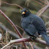 Kos, Blackbird, Turdus merula azorensis, Corvo, Azory, Portugalia, 21.10.2017 (Azores, Portugal)
