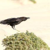 Kruk pustynny, Brown-necked Raven, Corvus ruficollis, Boa Vista, Wyspy Zielonego Przylądka, 22.02.2015 (1) (Cape Verde)