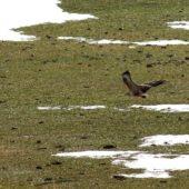 Kurhannik, Long-legged Buzzard, Buteo rufinus, Oukaimeden, Maroko, 24.11.2012 (Morocco)