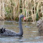 Łabędź czarny, Black Swan, Cygnus atratus, Holandia, 22.02.2017 (1)