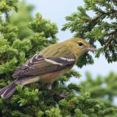 Lasówka kasztanowata, Bay-breasted Warbler, Setophaga castanea, Corvo, Azory, Portugalia, 22.10.2017 (1) (Azores, Portugal)