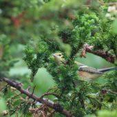Lasówka kasztanowata, Bay-breasted Warbler, Setophaga castanea, Corvo, Azory, Portugalia, 22.10.2017 (2) (Azores, Portugal)
