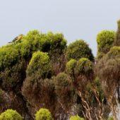 Lasówka rudogardła, Blackburnian Warbler, Setophaga fusca, Corvo, Azory, Portugalia, 15.10.2017 (Azores, Portugal)