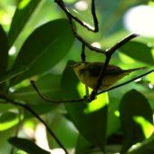 Wilsonka żółtolica (lasówka żółtoczelna), Hooded Warbler, Setophaga citrina, Corvo, Azory, Portugalia, 20.10.2017 (2) (Azores, Portugal)