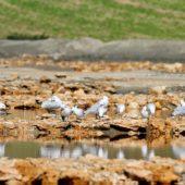 Mewa śródziemnomorska, Audouin's Gull, Larus audouinii, Oulalidia, Maroko, 26.11.2012 (Morocco)