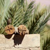 Modrak, Blue Rock Thrush, Monticola solitarius, Merzouga, Maroko, 30.11.2012 (2) (Morocco)