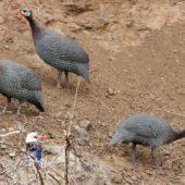 Perlica, Helmeted Guineafowl, Numida meleagris, Sao Tiago, Wyspy Zielonego Przylądka, 20.02.2015 (Cape Verde)