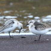 Piaskowiec, Sanderling, Calidris alba, Corvo, Azory, Portugalia, 11.10.2017 (3) (Azores, Portugal)