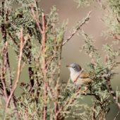 Pokrzewka okularowa, Spectacled Warbler, Sylvia conspicillata, Safi, Maroko, 26.11.2012 (Morocco)