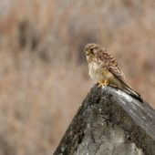 Pustułka, Kestrel, Falco tinnunculus alexandri, Sao Tiago, Wyspy Zielonego Przylądka, 20.02.2015 (2) (Cape Verde)