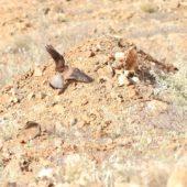 Pustułka, Kestrel, Falco tinnunculus alexandri, Boa Vista, Wyspy Zielonego Przylądka, 19.02.2015 (Cape Verde)