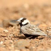 Pustynka białoczelna, Black-crowned Sparrow-lark, Eremopterix nigriceps, Boa Vista, Wyspy Zielonego Przylądka, 22.02.2015 (1) (Cape Verde)