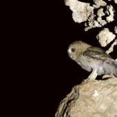 Puszczyk arabski, Hume`s Owl, Strix butleri, Morze Martwe, Izrael, 28.04.2015 (1) (Dead Sea, Israel)