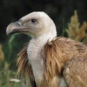 Sęp płowy, Griffon Vulture, Gyps fulvus, Dąbrowica, MŁP, 28.07.2011
