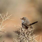 Skotniczka, Scrub Warbler, Scotocerca inquieta, Merzouga, Maroko, 01.12.2012 (1) (Morocco)