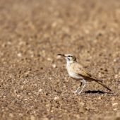 Skowron pustynny, Hoopoe Lark, Alaemon alaudipes, Merzouga, Maroko, 01.12.2012 (1) (Morocco)