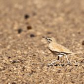 Skowron pustynny, Hoopoe Lark, Alaemon alaudipes, Merzouga, Maroko, 01.12.2012 (2) (Morocco)
