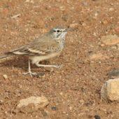 Skowron pustynny, Hoopoe Lark, Alaemon alaudipes boavistae, Boa Vista, Wyspy Zielonego Przylądka, 22.02.2015 (1) (Cape Verde)