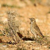 Skowrończyk sierpodzioby, Dupont's Lark, Chersophilus duponti, Zaida, Maroko, 29.11.2012 (1) (Morocco)