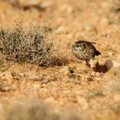 Skowrończyk sierpodzioby, Dupont's Lark, Chersophilus duponti, Zaida, Maroko, 29.11.2012 (3) (Morocco)