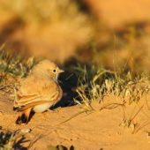 Skowronik rudawy, Bar-tailed Desert Lark, Ammomanes cinctura, Zaida, Maroko, 29.11.2012 (2) (Morocco)