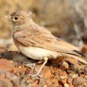 Skowronik rudawy, Bar-tailed Desert Lark, Ammomanes cinctura cinctura, Sal, Wyspy Zielonego Przylądka, 19.02.2015 (2) (Cape Verde)