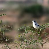 Dzierzba śródziemnomorska, Southern Grey Shrike, Lanius meridionalis, Massa, Maroko, 02.12.2012 (Morocco)