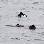 Sterniczka jamajska, Ruddy Duck, Oxyura jamaicensis, Kuźnica Warężyńska, Dąbrowa Górnicza, SLK, 16.04.2014 (1)