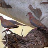 Synogarlica senegalska, Laughing Dove, Streptopelia senegalensis, Pardes Hanna, Izrael, 28.04.2015 (Israel)