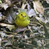 Wilsonka żółtolica (lasówka żółtoczelna), Hooded Warbler, Setophaga citrina, Corvo, Azory, Portugalia, 20.10.2017 (3) (Azores, Portugal)