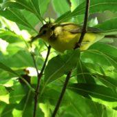 Wilsonka żółtolica (lasówka żółtoczelna), Hooded Warbler, Setophaga citrina, Corvo, Azory, Portugalia, 20.10.2017 (5) (Azores, Portugal)