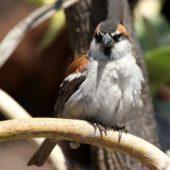 Wróbel rudogrzbiety, Iago Sparrow, Passer iagonensis, Boa Vista, Wyspy Zielonego Przylądka, 22.02.2015 (2) (Cape Verde)