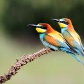 Żołna, Bee-eater, Merops apiaster, Świerklaniec, SLK, 15.07.2013 (3)
