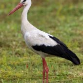 Bocian biały, White Stork, Ciconia ciconia, Gołuchowice, SLK, 08.07.2017 (Polska, Poland)