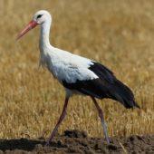 Bocian biały, White Stork, Ciconia ciconia, Woźniki, SLK, 18.08.2017 (2) (Polska, Poland)