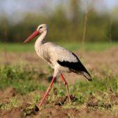 Bocian biały, White Stork, Ciconia ciconia, Gołuchowice, SLK, 11.05.2017 (2) (Polska, Poland)