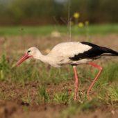 Bocian biały, White Stork, Ciconia ciconia, Gołuchowice, SLK, 11.05.2017 (4) (Polska, Poland)