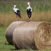 Bocian biały, White Stork, Ciconia ciconia, Pyrzowice, SLK, 05.08.2017 (1) (Polska, Poland)