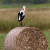 Bocian biały, White Stork, Ciconia ciconia, Pyrzowice, SLK, 05.08.2017 (2) (Polska, Poland)
