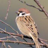 Mazurek, Tree Sparrow, Pesser montanus, Przeczyce, SLK, 29.09.2017 (1) (Polska, Poland)