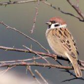 Mazurek, Tree Sparrow, Pesser montanus, Przeczyce, SLK, 29.09.2017 (2) (Polska, Poland)