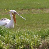 Pelikan różowy, White Pelican, Pelecanus onocrotalus, Jędrzejów, ŚWTK,  25.042017 (3) (Polska, Poland)